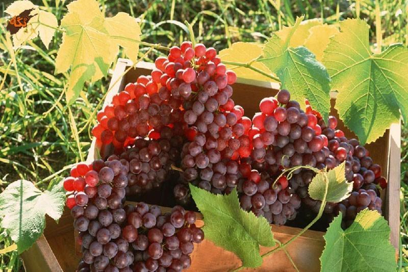 کشت انگور در خاک های شور امکان پذیر شد