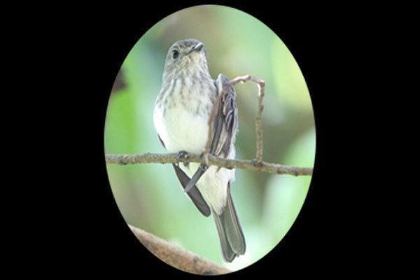 شناسایی یک گونه جدید پرنده در اندونزی