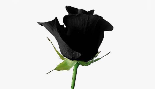 زیباترین مجموعه عکس گل رز مشکی بسیار خاص، برای پروفایل